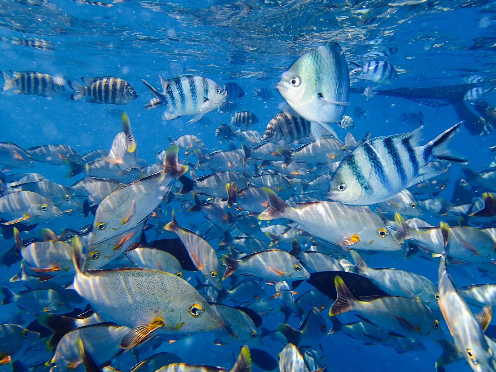 Blue and white school of fish swimming in the South Pacific Ocean.