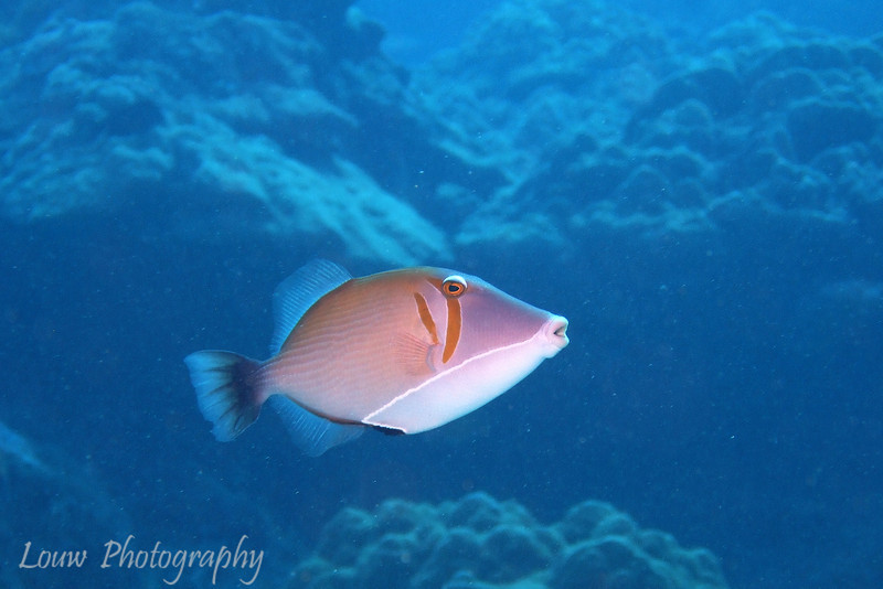 Scythe Triggerfish (Sufflamen bursa), Toopua, Bora Bora, French Polynesia