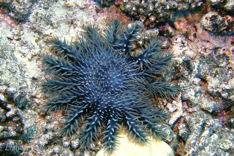 Crown of Thorns Starfish (Acanthaster planci), Haapiti, Bora Bora, French Polynesia