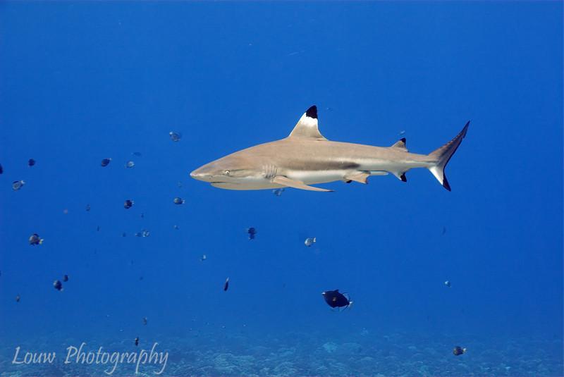 Blacktip reef shark (Carcharhinus melanopterus), Haapiti, Bora Bora, French Polynesia