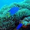 Neon Damsel (Pomacentrus coelestis), Toopua, Bora Bora, French Polynesia