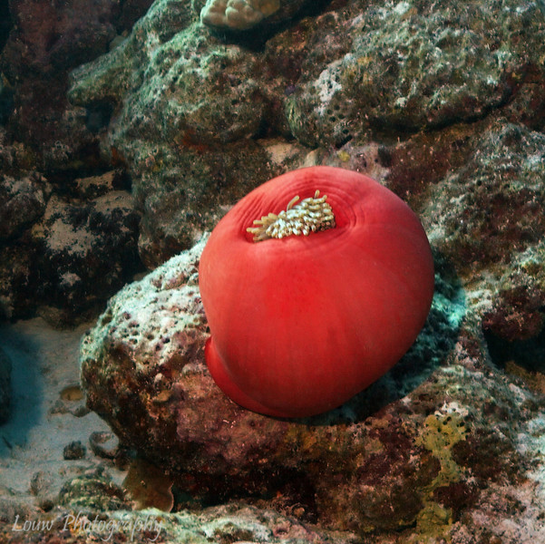 Sea Anemone, Toopua, Bora Bora, French Polynesia
