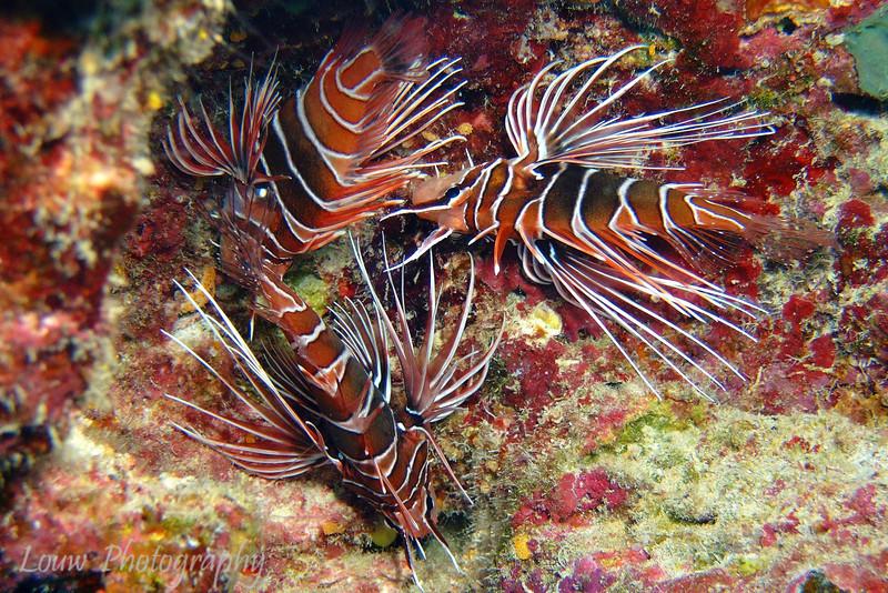 """<a target=""""NEWWIN"""" href=""""http://en.wikipedia.org/wiki/Lionfish"""">Spotfin Lionfish (Pterois antennata)</a>, Tapu, Bora Bora, French Polynesia"""