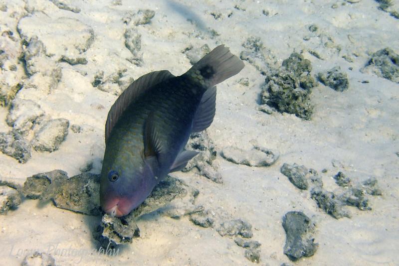 Parrotfish, Toopua, Bora Bora, French Polynesia