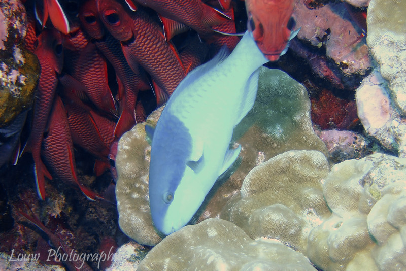 Parrotfish, Tapu, Bora Bora, French Polynesia
