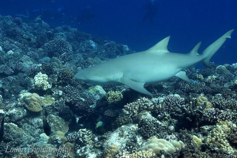 Lemon Shark (Negaprion brevirostris), Tapu, Bora Bora, French Polynesia