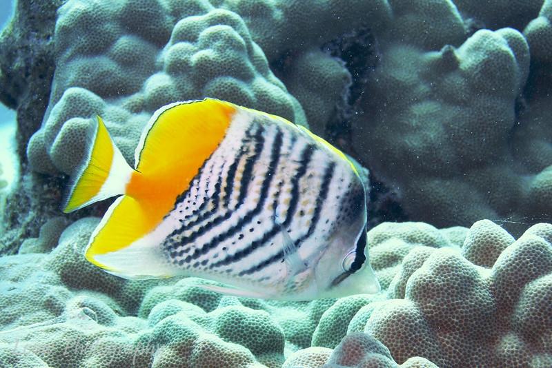 Yellowback Butterflyfish (Chaetodon mertensii), Toopua, Bora Bora, French Polynesia