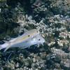 Yellowstripe Goatfish (Mulloidichthys flavolineatus), snorkeling at Hotel Bora Bora, French Polynesia