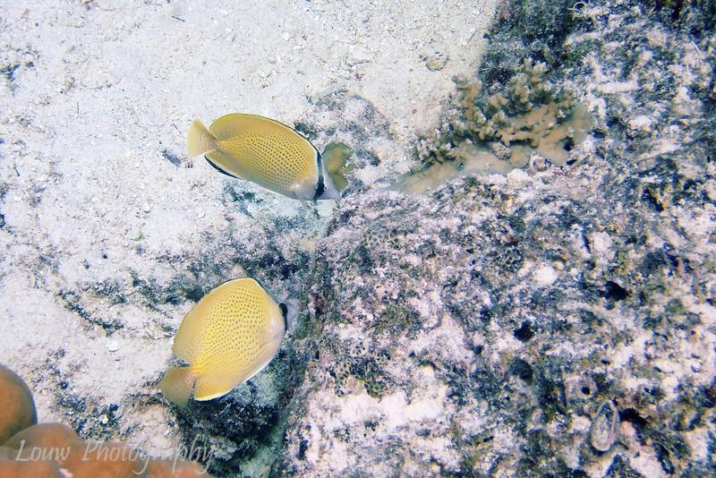 Speckled Butterflyfish (Chaetodon citrinellus), Toopua, Bora Bora, French Polynesia