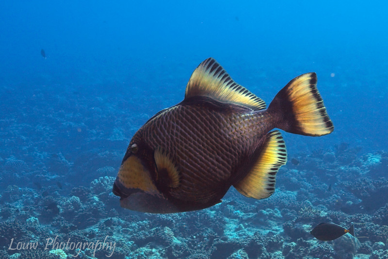 Titan Triggerfish (Balistoides viridescens), Haapiti, Bora Bora, French Polynesia