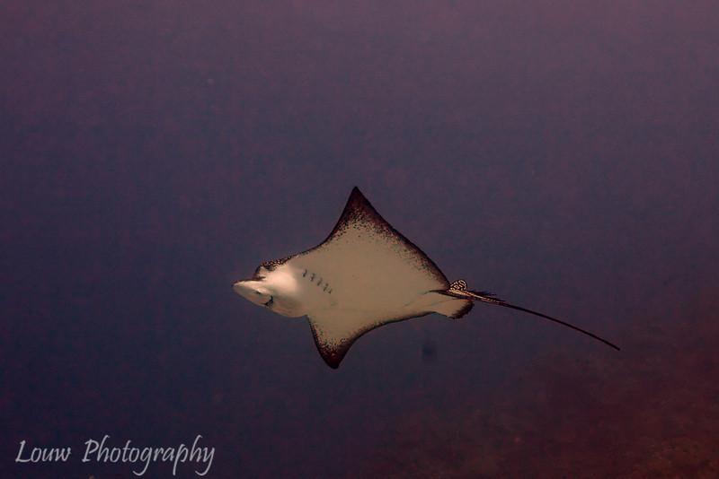Spotted Eagle Ray (Aetobatus narinari), Toopua, Bora Bora, French Polynesia