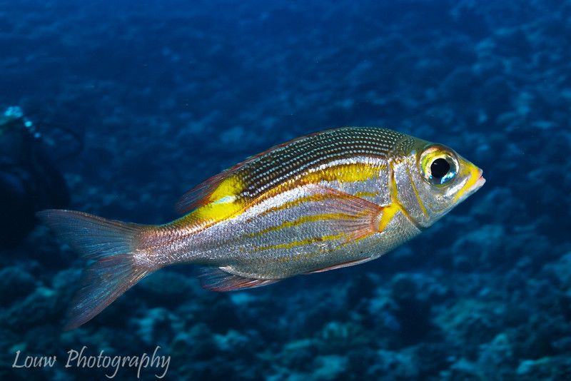 Striped Large-Eye Bream (Gnathodentex aureolineatus), Haapiti, Bora Bora, French Polynesia