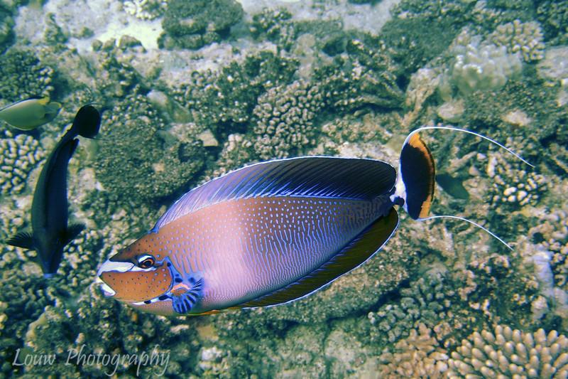 Bignose Unicornfish (Naso vlamingii), Haapiti, Bora Bora, French Polynesia