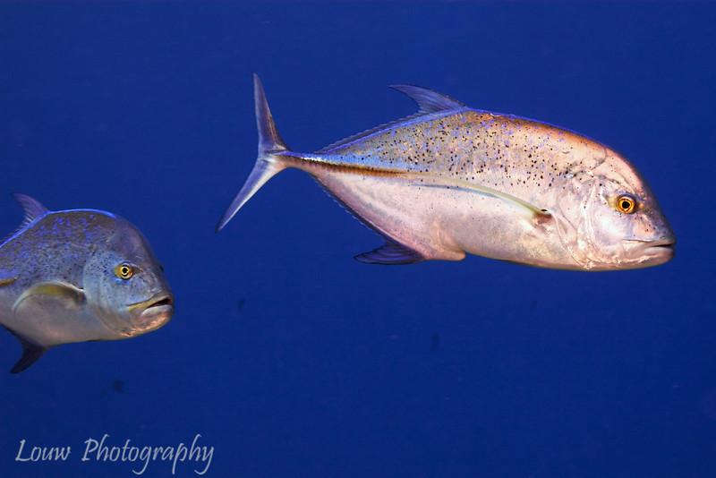 Bluefin Trevally (Caranx melampygus), Tapu, Bora Bora, French Polynesia