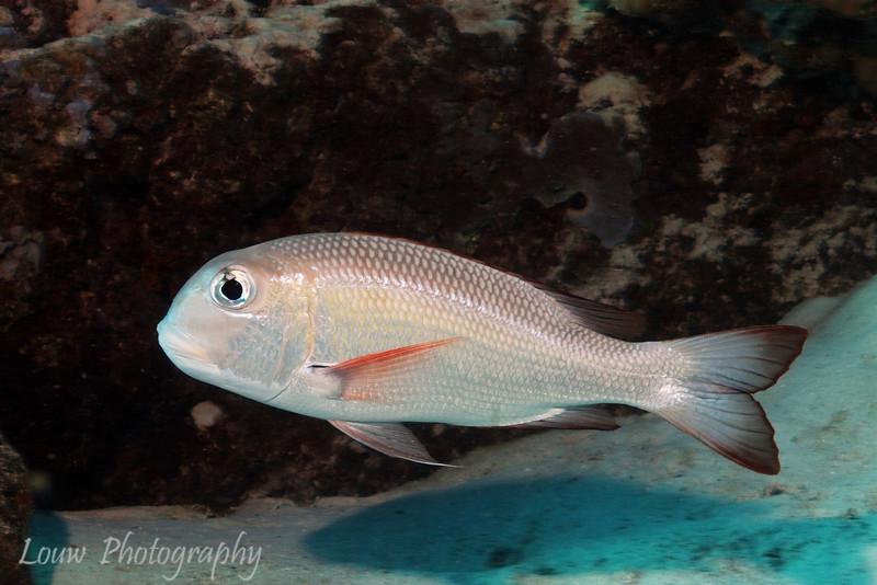 Humpnose Bigeye Bream (Monotaxis grandoculis), Adult, Toopua, Bora Bora, French Polynesia
