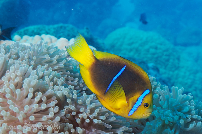 Orange-finned Anemonefish (Amphiprion chrysopterus), Toopua, Bora Bora, French Polynesia