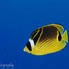 Raccoon Butterflyfish (Chaetodon lunula), Tapu, Bora Bora, French Polynesia