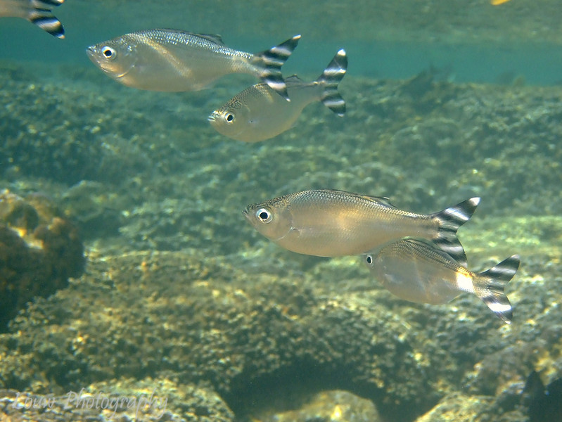Barred Flagtail (Kuhlia mugil), snorkeling at Hotel Bora Bora, French Polynesia