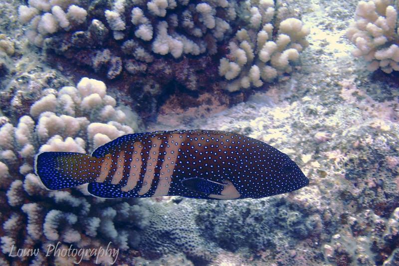 Peacock Grouper - pale phase (Cephalopholis argus), Haapiti, Bora Bora, French Polynesia