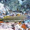 Halfspotted Hawkfish (Paracirrhites hemistictus), Tapu, Bora Bora, French Polynesia