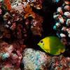 Lemonpeel Angelfish (Centropyge flavissimus), Tapu, Bora Bora, French Polynesia