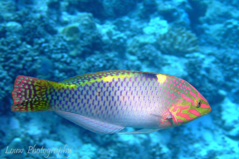 "<a target=""NEWWIN"" href=""http://en.wikipedia.org/wiki/Checkerboard_wrasse"">Checkerboard Wrasse (Halichoeres hortulanus)</a>, Haapiti, Bora Bora, French Polynesia"