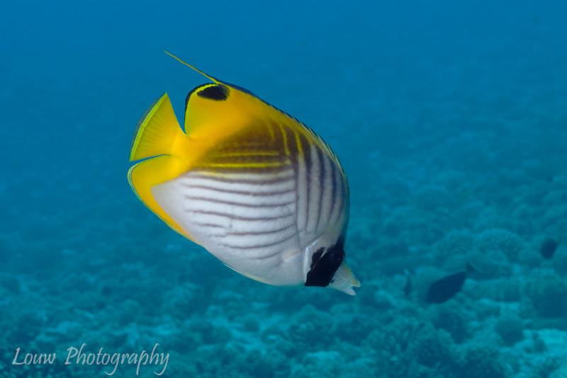 Threadfin Butterflyfish (Chaetodon auriga), Tapu, Bora Bora, French Polynesia