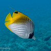 Threadfin Butterflyfish (Chaetodon auriga), Tapu, Bora Bora, French Polynesia