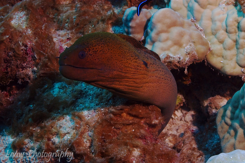Giant Moray (Gymnothorax javanicus), Tapu, Bora Bora, French Polynesia