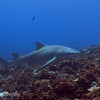 Lemon Shark (Negaprion brevirostris), Tapu, Bora Bora, French Polynesia
