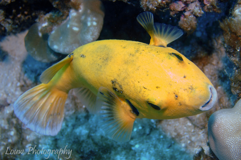 Guineafowl Puffer - yellow phase (Arothron meleagris), Tapu, Bora Bora, French Polynesia