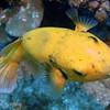 Guineafowl Puffer - yellow phase (Arothron meleagris), Tapu, Bora Bora, French Polynesia