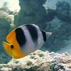 Pacific Double-Saddle Butterflyfish (Chaetodon ulietensis), Toopua, Bora Bora, French Polynesia