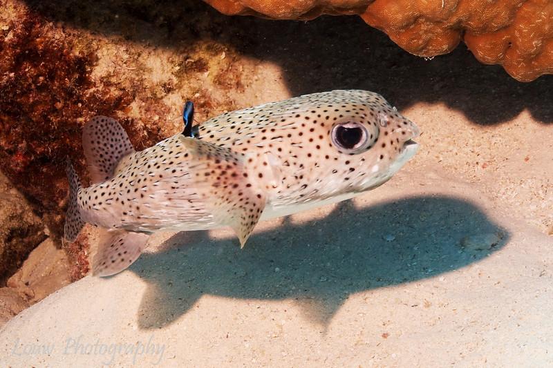Porcupinefish (Diodon hystrix), Toopua, Bora Bora, French Polynesia
