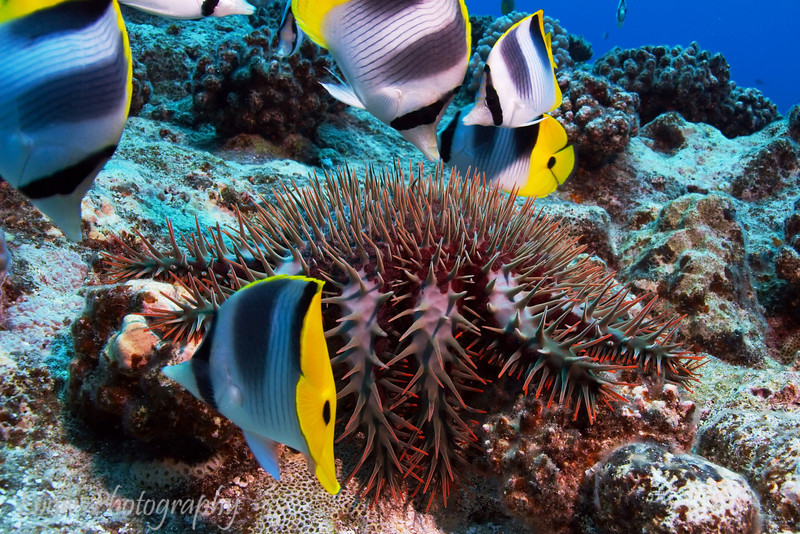 Pacific Double-Saddle Butterflyfish (Chaetodon ulietensis) and Crown of Thorns Starfish (Acanthaster planci), Haapiti, Bora Bora, French Polynesia