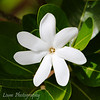 Tiare - the national flower of French Polynesia, 7 petal variety