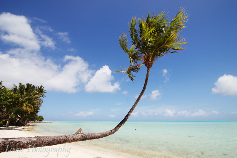 Coconut tree, Bora Bora, French Polynesia