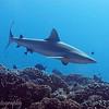 "<a target=""NEWWIN"" href=""http://en.wikipedia.org/wiki/Grey_reef_shark"">Gray reef shark (Carcharhinus amblyrhynchos)</a>, Garuae Pass, Fakarava, French Polynesia"