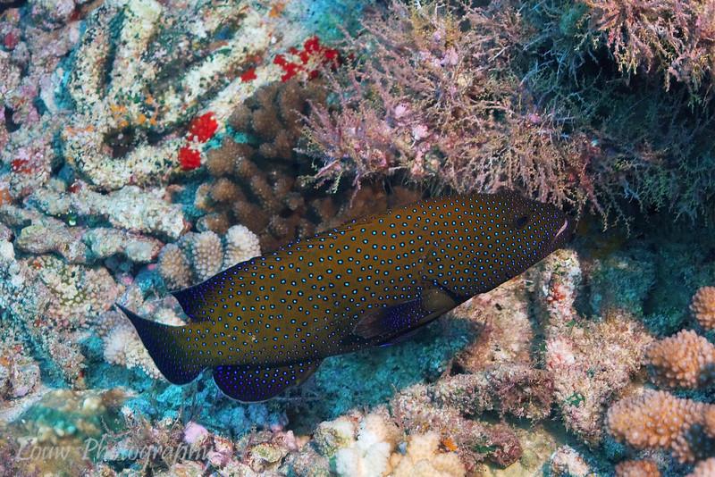 Peacock Grouper (Cephalopholis argus), Garuae Pass, Fakarava, French Polynesia