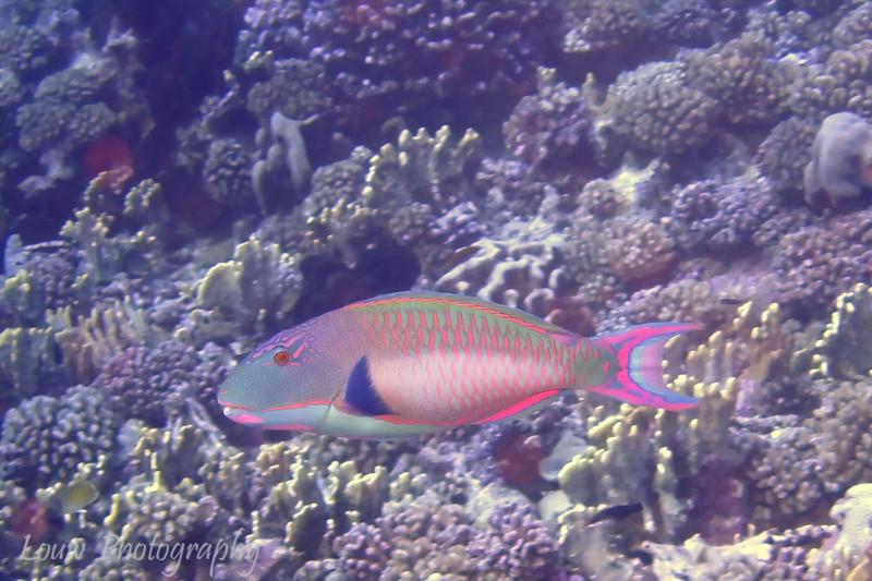 "<a target=""NEWWIN"" href=""http://en.wikipedia.org/wiki/Parrot_fish"">Bicolor Parrotfish (Cetoscarus bicolor)</a>, Maiuru, Fakarava, French Polynesia"