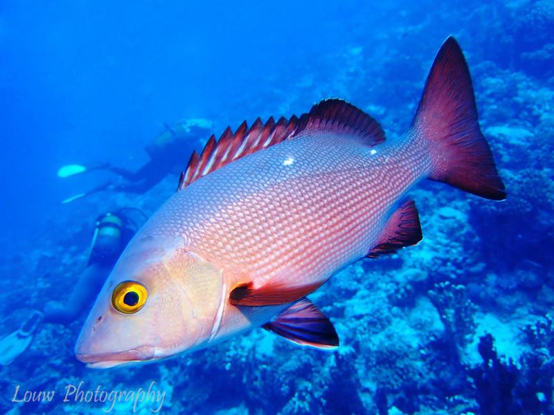 "<a target=""NEWWIN"" href=""http://en.wikipedia.org/wiki/Red_snapper_(fish)"">Red snapper (Lutjanus bohar)</a>, Maiuru, Fakarava, French Polynesia"