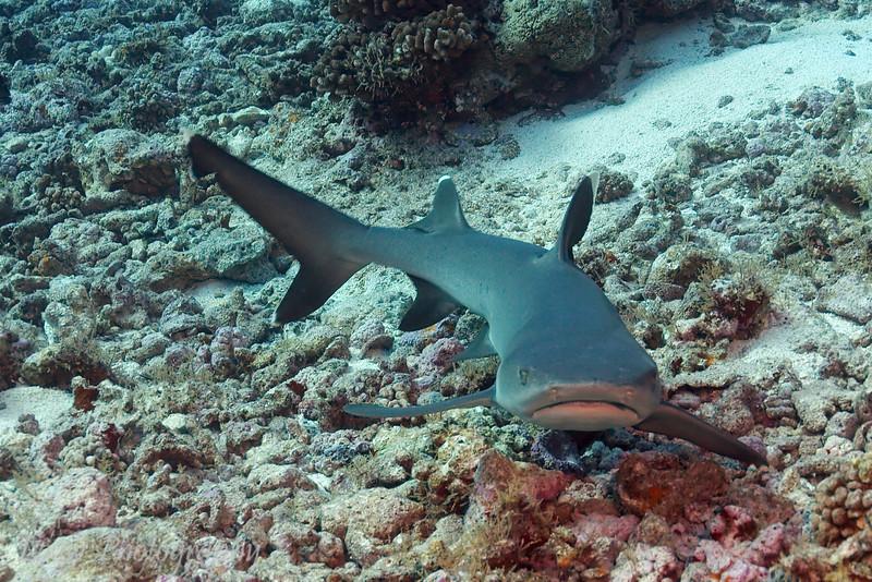 Silvertip shark (Carcharhinus albimarginatus), Garuae Pass, Fakarava, French Polynesia
