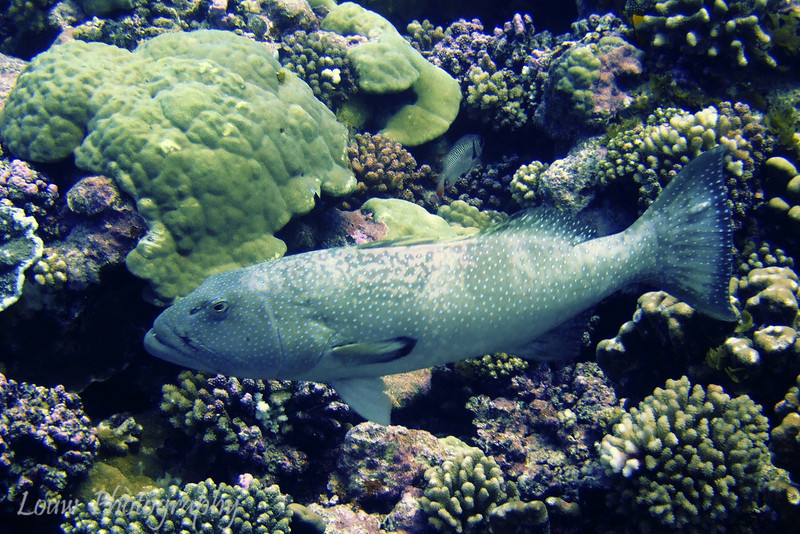 Grouper, Ohotu, Fakarava, French Polynesia