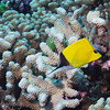 Longnose butterflyfish (Forcipiger flavissimus), Ohotu, Fakarava, French Polynesia