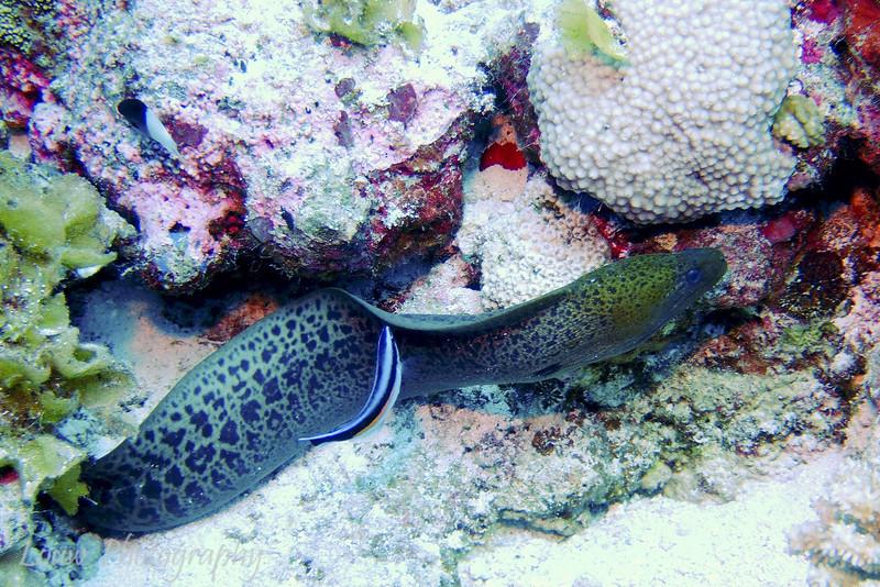 Moray eel, Maiuru, Fakarava, French Polynesia