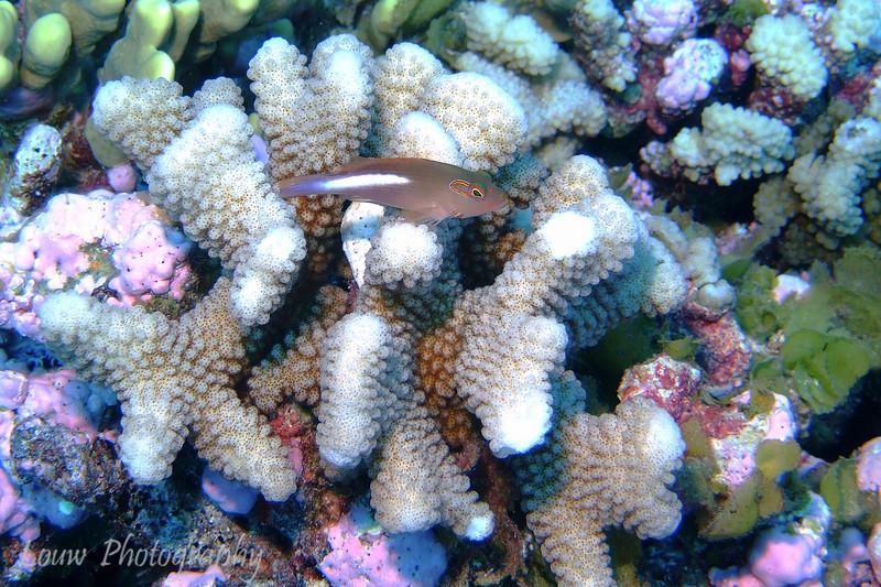 Arc-Eye Hawkfish (Paracirrhites arcatus) sitting on coral, Maiuru, Fakarava, French Polynesia