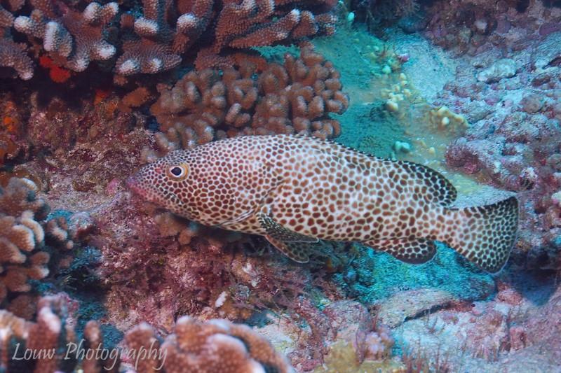 Greasy Grouper (Epinephelus tauvina), Garuae Pass, Fakarava, French Polynesia