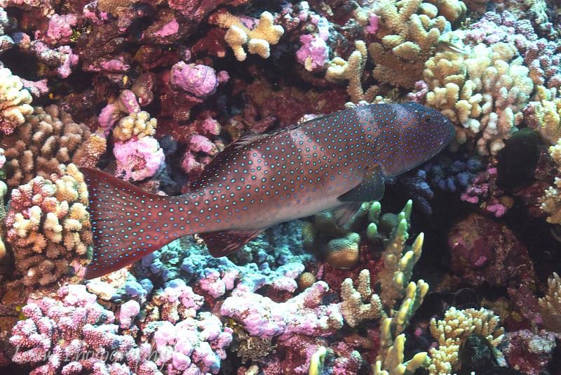 Blacksaddle Coral Grouper (Plectropomus laevis), Maiuru, Fakarava, French Polynesia