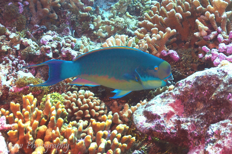 Steephead Parrotfish (Chlorurus microrhinos), Maiuru, Fakarava, French Polynesia
