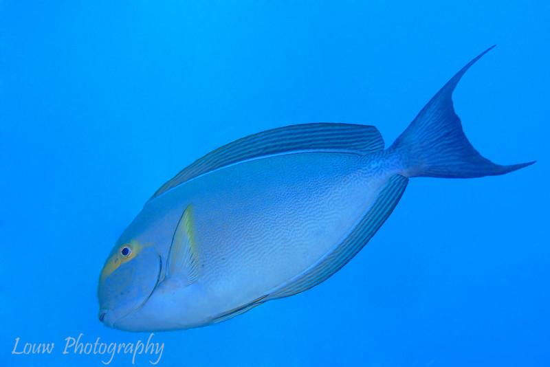 Yellowmask Surgeonfish (Acanthurus mata), Garuae Pass, Fakarava, French Polynesia